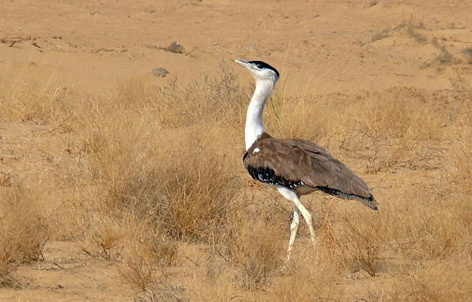 great-indian-bustard1
